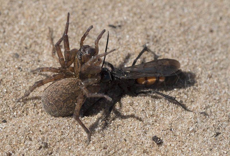 Spinnendoder (Anoplius viaticus)