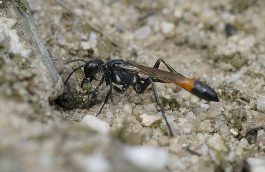 Kleine rupsendoder Ammophila pubescens